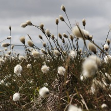 Cotton grass in the Brecon Beacons, Wales